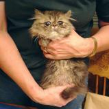 Rescued Persian Cats (six kittens?)