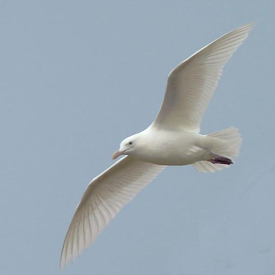 Western Gull, adult, albino