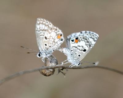 Nickerbean Blues mating - Cyclargus ammon