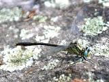 Lilypad Clubtail - Arigomphus furcifer (male)
