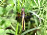 Widow Skimmer - Libellula luctuosa (female)