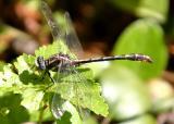 Lancet Clubtail - Gomphus exilis