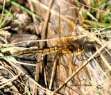 Saffron-winged Meadowhawk - Sympetrum costiferum (female)