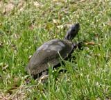 Florida Mud Turtle - Kinosternon subrubrum steindachneri
