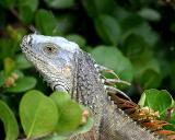 Common Iguana (green iguana) - Iguana iguana
