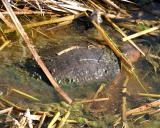Florida Soft-shelled Turtle - Trionyx ferox