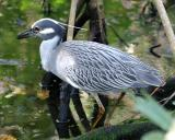 Yellow-crowned Night Heron - Nyctanassa violacea