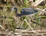 Tri-colored Heron - Egretta tricolor