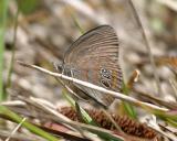 Georgia Satyr - Neonympha areolata