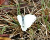 male Great Southern White - Ascia monuste