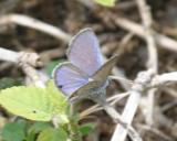 male Ceraunus Blue - Hemiargus ceraunus