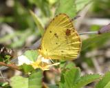 Little Yellow -  Eurema lisa