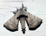 7663 -- Spotted Apatelodes Moth -- Apatelodes torrefacta