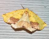 6912 -- Sharp-lined Yellow Moth -- Sicya macularia