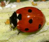 Sevenspotted Lady Beetle - Coccinella septempunctata