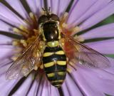 Eupeodes sp. (female)