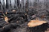 Blackened Timber Harvest