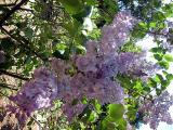 Lilacs at Descanso Gardens
