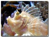 Scorpianfish