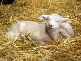 contented lambs