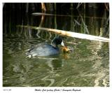 Mom Coot feeding her chick