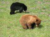 Black bear couple