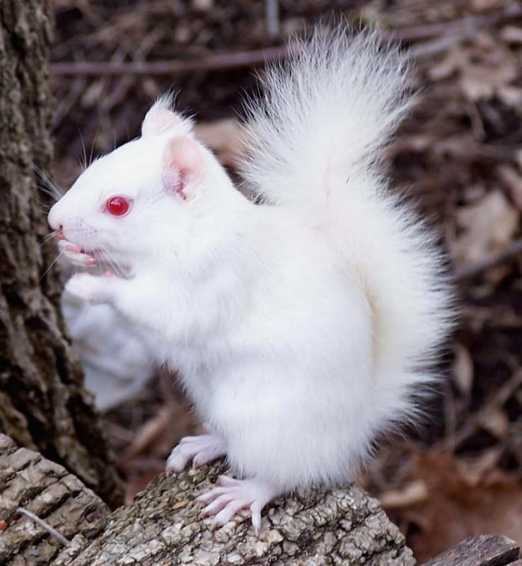 albino Grey squirrel