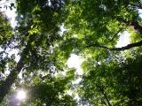 sky through tall maples - sept-6-2004