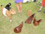 Greek chickens and goats to pet