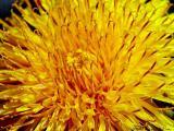 Dandelion extreme macro