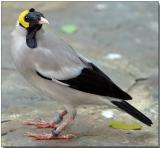 Wattled Starling - male