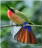 Red-throated Bee Eater - mid-day stretch