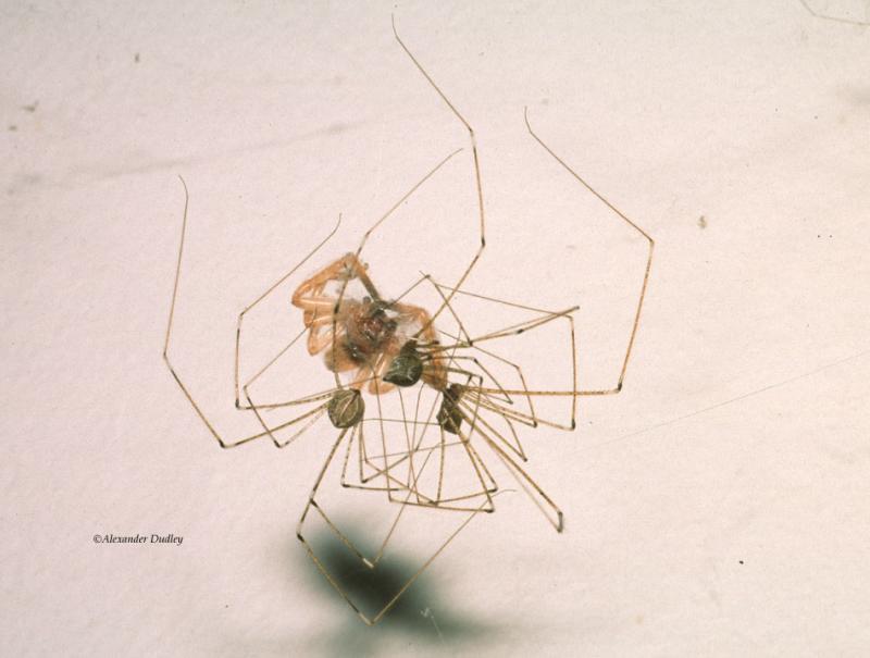 Daddy long-legs, genus Pholcus.