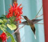 Western Long-tailed Hermit