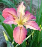 Iris In My Yard
