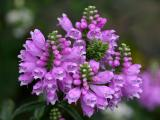 Physostegia or Obedient Plant