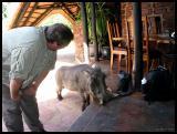The Lodges pet warthog - Piggy