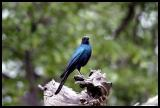 Longtailed Starling