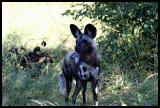 African Wild Dog - part of pack of 11 First time seen in a Year in this region