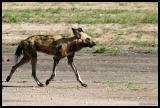 African Wild Dog - Part of a pack of 11 First time seen in a year in this region