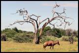 Tessebe Antelopes