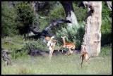 Happy Impalas