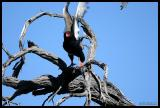 Bateleur Raptor taking flight