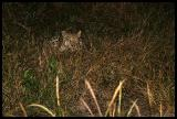 Leopard found during a night drive stalking prey A very lucky find