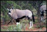 Oryx - Beisa race