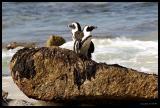 South Africa Penguins or Jackass Penguins