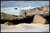 South Africa Penguin or Jackass Penguin ready for leap into ocean