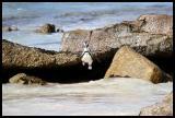 South Africa Penguin or Jackass Penguin in mid flight