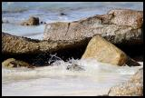 South Africa Penguin or Jackass Penguin splash down