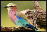 Lilac-breasted Roller up close